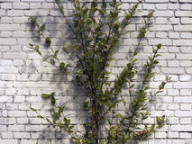 Árbol y pared de ladrillo blanca Foto de archivo