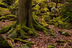 Árbol y piedras cubiertos por el musgo Foto de archivo libre de regalías