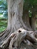 Árbol y raíces imagen de archivo