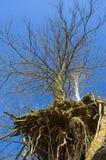 Árbol y raíces fotos de archivo libres de regalías