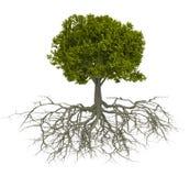 Árbol y raíz Fotografía de archivo