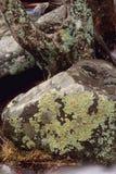 Árbol y roca cubiertos con el liquen imágenes de archivo libres de regalías