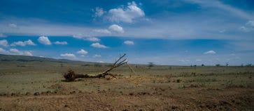 Árbol y sabana caidos en Kenia África fotos de archivo libres de regalías