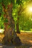 Árbol y sol impares Foto de archivo libre de regalías