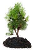 Árbol y suelo de los bonsais en blanco Imagen de archivo libre de regalías
