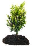 Árbol y suelo de los bonsais en blanco imagen de archivo
