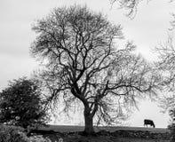 Árbol y vaca blancos y negros Foto de archivo libre de regalías