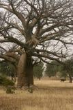 Árbol y vaca del baobab en la sabana septentrional de Ghana Imagen de archivo