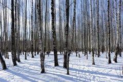 Árboles, abedul en el parque en el invierno, nieve, día soleado Imágenes de archivo libres de regalías