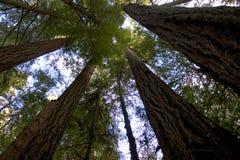 Árboles altos Foto de archivo libre de regalías