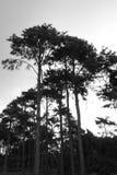 Árboles altos Foto de archivo