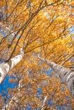 Árboles altos con las hojas amarillas bajo el cielo azul Foto de archivo libre de regalías