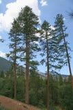 Árboles altos de Forrest Imágenes de archivo libres de regalías