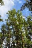 Árboles altos de la montaña Imágenes de archivo libres de regalías