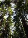 Árboles altos de la secoya fotografía de archivo libre de regalías