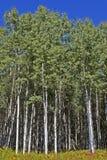 Árboles altos del álamo temblón en las maderas Imagen de archivo libre de regalías