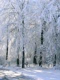 Árboles altos del invierno en camino Foto de archivo libre de regalías
