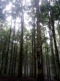 Árboles altos en el bosque Imagenes de archivo