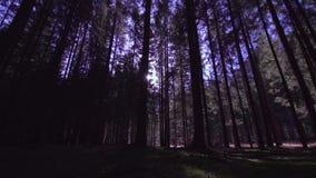 Árboles altos en el bosque de la tarde con los rayos del sol en el centro metrajes
