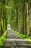 Árboles altos a lo largo de un camino estrecho Foto de archivo libre de regalías