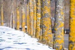 Árboles amarillos Fotografía de archivo libre de regalías
