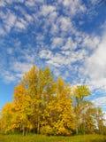 Árboles amarillos altos de la hoja y cielo azul en otoño de NYS Foto de archivo