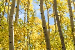 Árboles amarillos de Aspen Foto de archivo libre de regalías