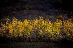 Árboles amarillos del otoño Fotografía de archivo libre de regalías