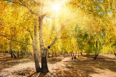 Árboles amarillos en bosque del otoño en el día soleado Fotografía de archivo libre de regalías