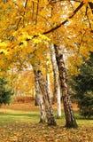 Árboles amarillos en el parque Imágenes de archivo libres de regalías