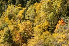 Árboles amarillos en la caída Foto de archivo libre de regalías