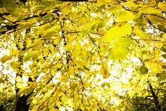 Árboles amarillos grandes en el contraluz, paisaje natural del otoño Foto de archivo libre de regalías