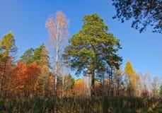 Árboles amarillos, rojos y verdes en bosque en el otoño Fotografía de archivo