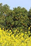 Árboles anaranjados con las frutas Fotografía de archivo libre de regalías
