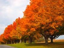 Árboles anaranjados del otoño Fotos de archivo