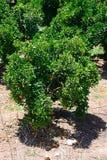 Árboles anaranjados, Silves, Portugal Imágenes de archivo libres de regalías