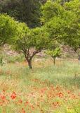 Árboles anaranjados y amapolas Imagen de archivo