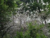 Árboles/arbustos cubiertos en web por Ermine Moth que parece fantasmagórica/asustadiza en Berlin Public Park foto de archivo