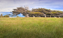 Árboles azotados por el viento en la costa de Nueva Zelandia Fotos de archivo libres de regalías
