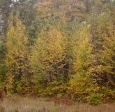 Árboles bastante amarillos de la caída Foto de archivo libre de regalías