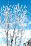 Árboles blancos Foto de archivo libre de regalías