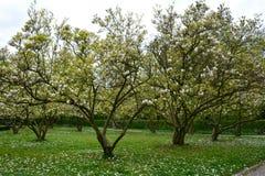 Árboles blancos de las magnolias en el Magnoliaceae del parque imagen de archivo libre de regalías