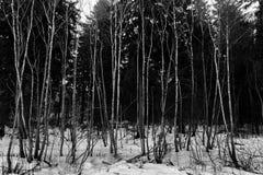 Árboles blancos y negros en nieve Foto de archivo libre de regalías