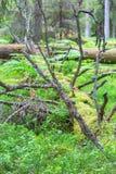 Árboles caidos demasiado grandes para su edad con el musgo y el liquen Imagen de archivo libre de regalías