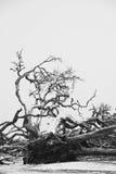 Árboles caidos en el BW de la playa del Driftwood foto de archivo