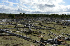 Árboles caidos en la orilla de Lago Blanco Foto de archivo libre de regalías