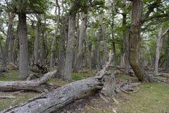 Árboles caidos en la orilla de Lago Blanco Imagenes de archivo
