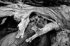 Árboles caidos muertos en Washington State Imagen de archivo libre de regalías