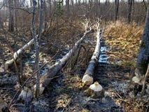 Árboles caidos por los castores en el bosque de la primavera foto de archivo