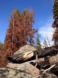 Árboles chamuscados después del incendio forestal Fotografía de archivo libre de regalías